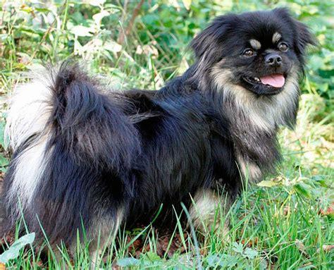 pug ancestry tibetan spaniels the intelligent small dogs doggyzoo comdoggyzoo