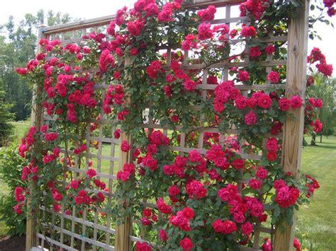 ideas for climbing rose supports climbing roses 12 tips garden trellis climbing roses and