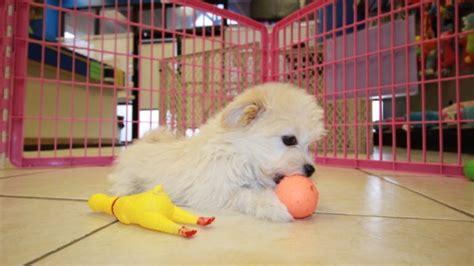 havaton puppies for sale loving havaton puppies for sale in atlanta ga at atlanta columbus johns