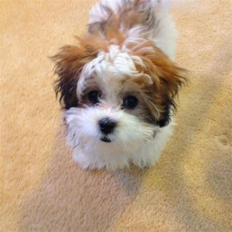 shih tzu and a bichon frise teddy puppy shih tzu bichon frise maltipoo i want one