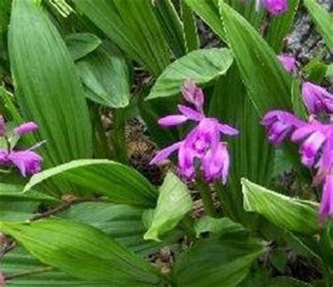 orchidea da giardino orchidea in giardino domande e risposte giardinaggio