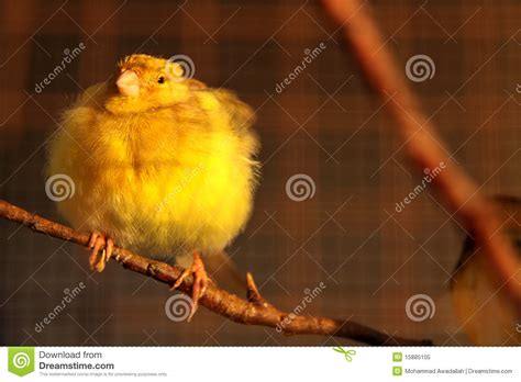 rhinelander canaries stock photo royalty cute canary bird stock image image of canar background