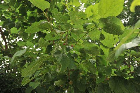 mulberry tree torigoe tokyobling s blog