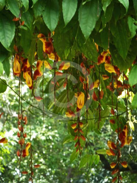 thunbergia mysorensis clock vine information