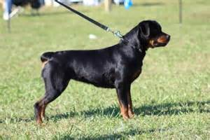 why are rottweilers tails docked pin rottweiler or no httpwwwludendorfrottscomheresbobby on