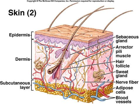 skin diagram labeled integumentary system