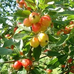 malus john downie buy flowering crab apple trees crabapple
