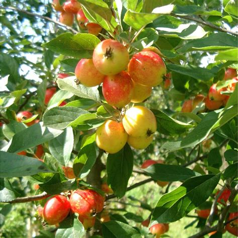 malus john downie buy flowering crab apple trees crabapple