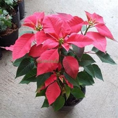 Bibit Tanaman Hias Merah jual tanaman hias kastuba merah hp 085608566034