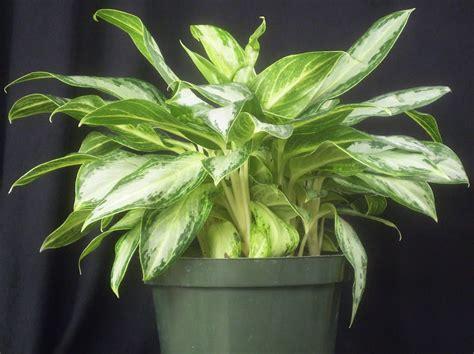 Tanaman Dracaena Florida plants are the strangest really really new plants