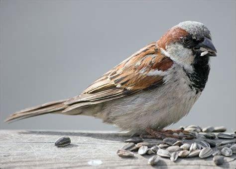 house sparrow passer domesticus bird spotting male house