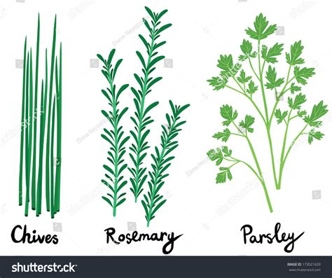 with names fresh herbs set names calligraphy chives stock vector