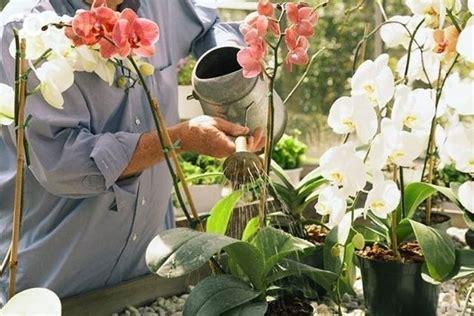 come curare l orchidea in vaso casa immobiliare accessori come curare l orchidea in vaso
