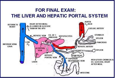 Hepatic Portal Circulation Anatomy