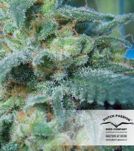 come coltivare cannabis in casa coltivare cannabis