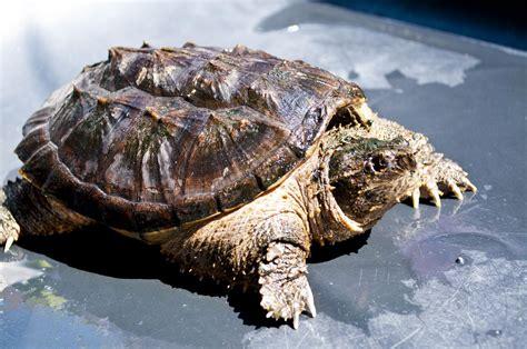 ficha de cuidados tortuga lagarto o mordedora cuidados y mantenimiento de la chelydra serpentina