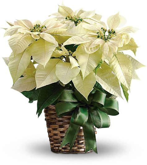 white poinsettia plant poinsettias for everything grows christmas o