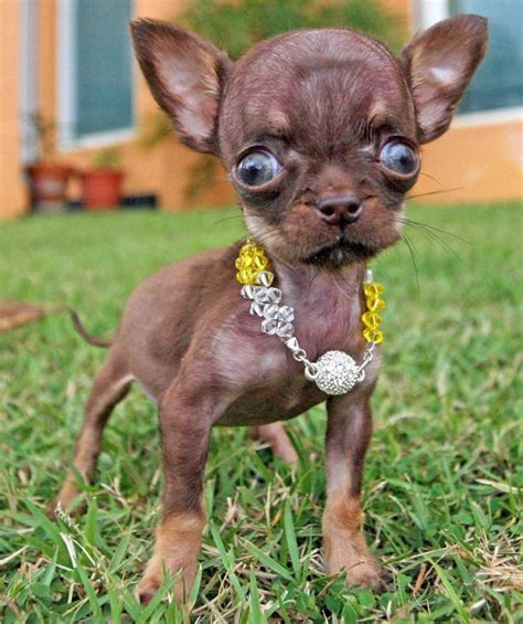 the smallest puppy in the world smallest puppy milly the chihuahua breaks world record pics
