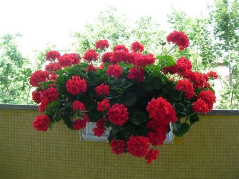 edera coltivazione in vaso gerani coltivazione geranio come coltivare gerani