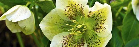 fiori da giardino invernali fiori e piante da balcone invernali piante invernali da