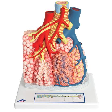 vasi polmonari lobo polmonare con vasi sanguigni circostanti 1008493