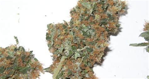 hanf wann ernten die marihuanabl 252 ten produktiv ernten marihuana ernte