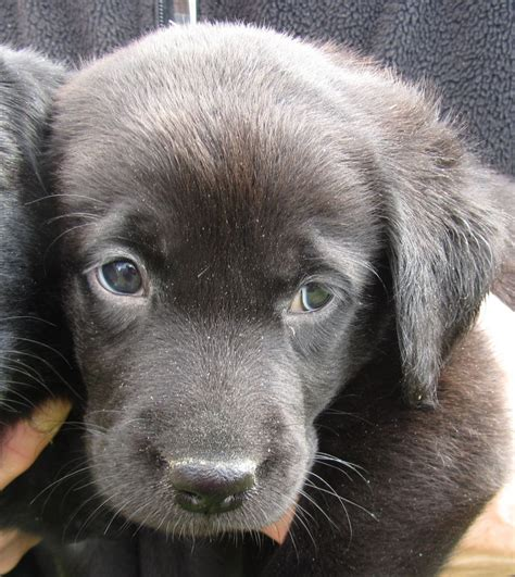black lab puppies for sale in ohio chocolate lab puppies for sale lab puppy black labrador