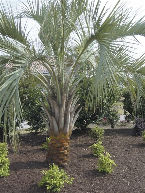 planting instructions and care for palmetto palm