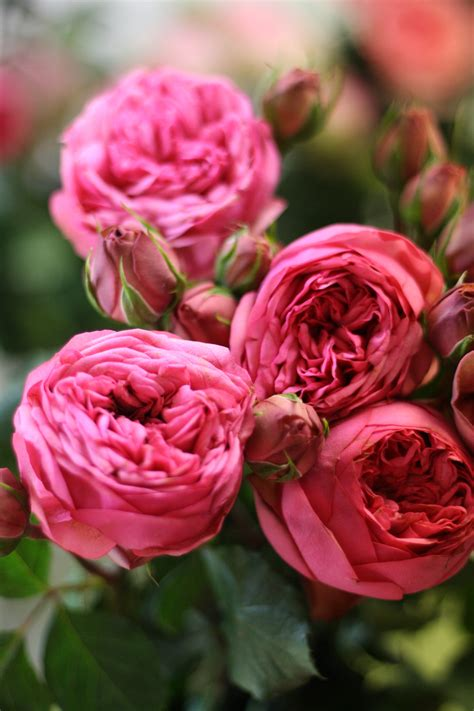Garden Roses by Pink Garden Varieties By Florabundance Flirty