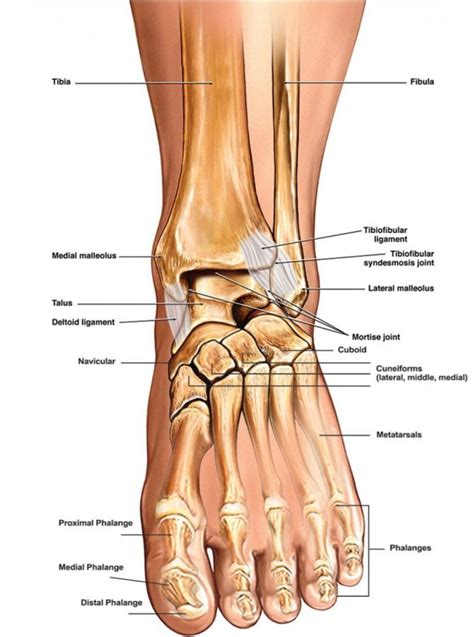 labelled diagram of foot ankle diagrams diagram site
