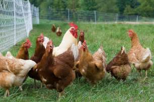 Backyard Chickens Dallas Free Range Chicken For Sale Wholesale Laying Hens Dallas