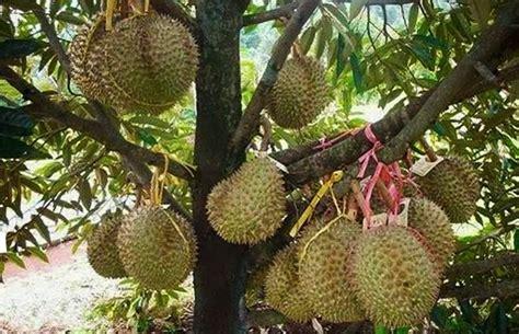 Bibit Durian Merah Madu pusat distributor grosir eceran jual bibit tanaman durian