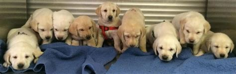 labrador puppies for sale az lab puppies for sale in scottsdale az yellow white autos post