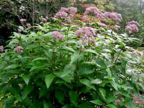 What To Plant In Fall Garden - eupatorium coelestinum cory carolyn s shade gardens