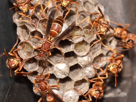 Bees That Make Paper Nests - paper wasps how to treat stings remove wasps