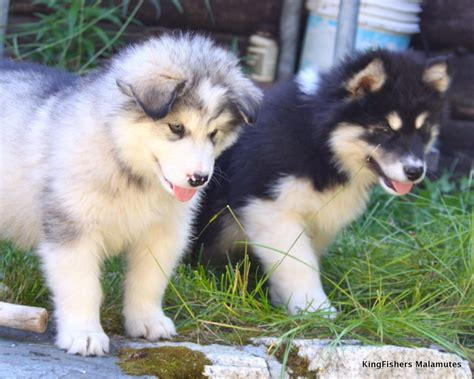 alaskan malamute puppies ohio alaskan malamute puppies for sale in ohio myideasbedroom