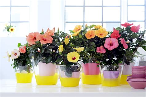 trend rebel bloemen hibiscus houseplant of the month of may flower council