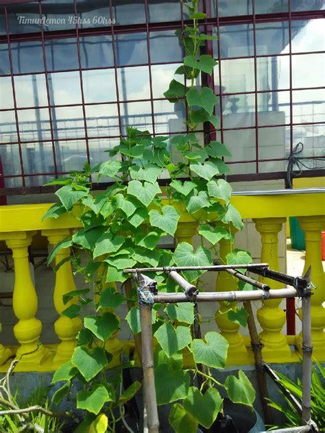 mentimun lemon bunga betinanya  mekar