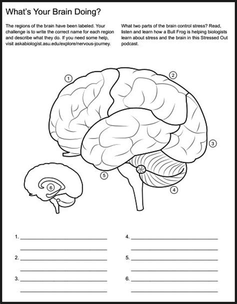 Brain Labeling Worksheet by Brain Diagram Worksheet Periodic Diagrams Science