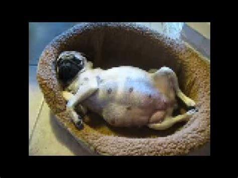 pug giving birth a beautiful pug birth story so precious pawbuzz