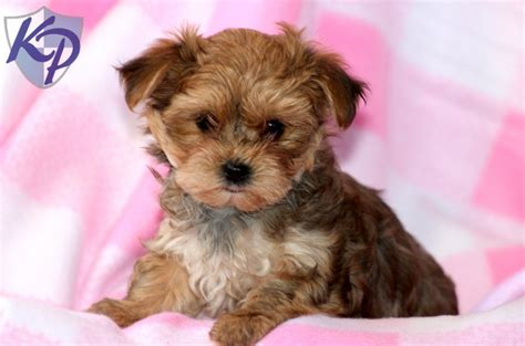 morkie puppies for sale indiana morkie puppies morktese puppy for sale in houston tx