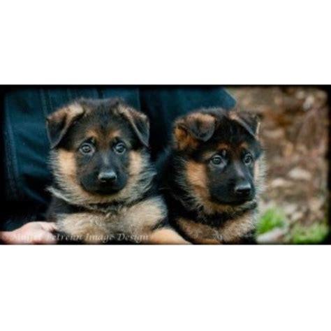 puppies in kansas german shepherd gsd alsatian breeders in kansas freedoglistings