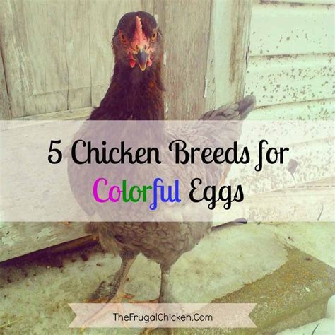 chickens that lay colored eggs 5 chickens to raise for colored eggs pered chicken