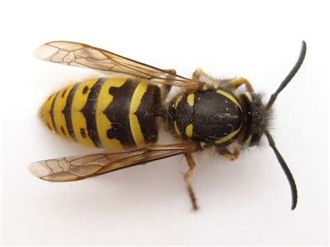 8 Tips On Getting Rid Of Yellow Jackets by How To Kill Get Rid Yellow Jacket Nest Yellow Jacket