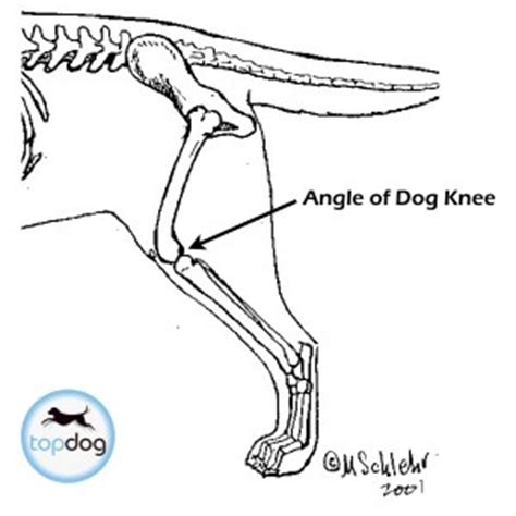 do dogs knees what is tplo surgery tibial plateau leveling osteotomy recovery faq