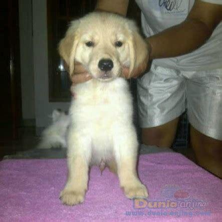 Handuk Golden dunia anjing jual anjing golden retriever golden retriever puppies for sale