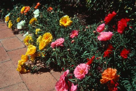 How to Grow: Moss Rose  gardening moss rose  growing portulaca