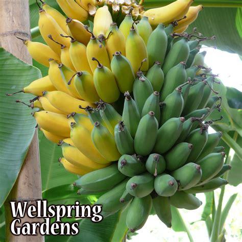 banana tree fruit hardy banana tree 2x plants fruit 2 live plant