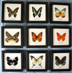 framed butterfly genuine specimen set in picture frame