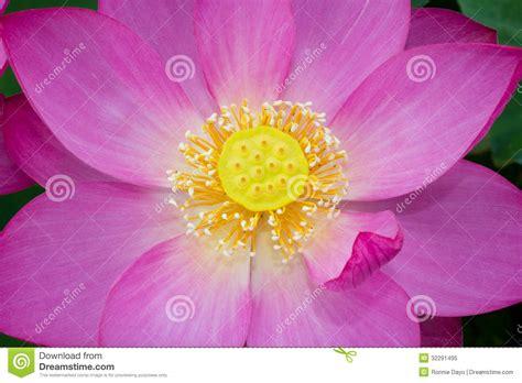 Bando Korea Green Flower lotus flower stock image image of green gyeongju smell 32291495